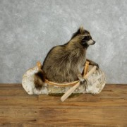 raccoon_taxidermy_mount_for_sale_-_17840_-_the_taxidermy_store